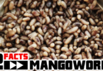 mangoworm facts